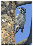 20130206 337 Black-backed Woodpeckerx.jpg
