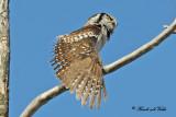 20100304 565 Northern Hawk Owl2.jpg