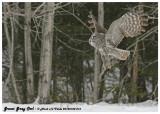 20130128 016 Great Gray Owl.jpg