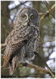 20130122 136 Great Gray Owl 1c1 r1.jpg