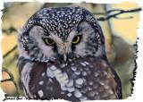 20130227 014, 356 SERIES -  Boreal Owl2 HP.jpg