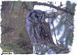 20130304 - 1 375 Boreal Owl HP.jpg