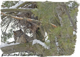 20130305 023 Great Horned Owl.jpg