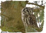 20130304 - 1 377 Boreal Owl 2 HP.jpg