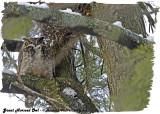 20130306 006 Great Horned Owl 1r2.jpg