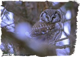20130304 - 1 233 Boreal Owl HP.jpg