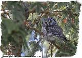 20130308 - 1 431 Boreal Owl HP.jpg