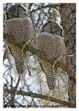 20130308 - 1 206, 214 Northern Hawk Owl.jpg