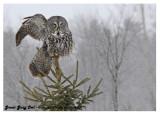 20130128 200 Great Gray Owl2.jpg