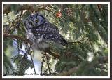 20130308 - 1 432 Boreal Owl HP2.jpg