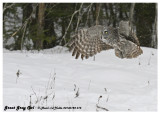 20130128 015 Great Gray Owl.jpg