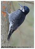 20130314 712 Black-backed Woodpecker HP.jpg