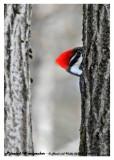 20130318 063 Pileated Woodpecker.jpg