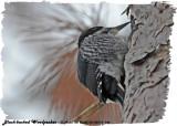 20130314 146 Black-backed Woodpecker HP.jpg