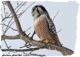 20130227 060 Northern Hawk Owl.jpg