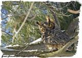 20130323 115 SERIES _  Great Horned Owl2.jpg