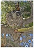 20130323 179 Great Horned Owl  1r3.jpg