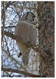 20130308 - 1 173 Northern Hawk Owl HP.jpg