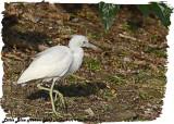 20130220 St Lucia 1014 Little Blue Heron juv.jpg