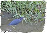 20130220 St Lucia 553 Little Blue Heron.jpg