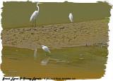 20130220 St Lucia 150 Great Egret &  Snowy Egrets.jpg