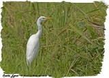 20130220 St Lucia 123 SERIES - Cattle Egret.jpg