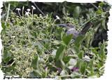 20130220 St Lucia 370 Gray Trembler.jpg