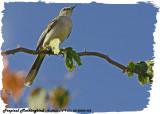 20130220 St Lucia 032 Tropical Mockingbird.jpg