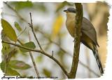 20130220 St Lucia 224 SERIES -  Mangrove Cuckoo.jpg
