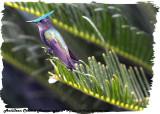 20130224 St Lucia 066 SERIES -  Antillean Crested Hummingbird.jpg