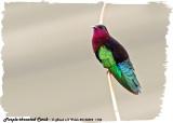 20130224 St Lucia 1156 SERIES -  Purple-throated Carib.jpg