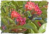 20130220 St Lucia 100, 098 Green-throated Carib.jpg