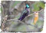 20130220 St Lucia 796 Antillean Crested Hummingbird.jpg