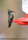 20130220 St Lucia 832 Antillean Crested Hummingbird.jpg