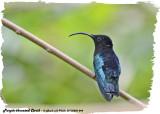 20130220 St Lucia 844 Purple-throated Carib.jpg