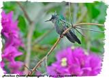 20130224 St Lucia 191 Antillean Crested Hummingbird.jpg