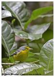 20130220 St Lucia 828 Saint Lucia Warbler.jpg