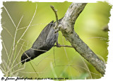 20130224 St Lucia 299 St Lucian Black Finch.jpg