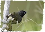 20130224 St Lucia 351 St Lucian Black Finch.jpg