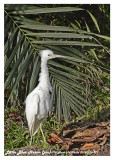20130220 St Lucia 971 Little Blue Heron (juv).jpg