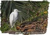 20130220 St Lucia 984 Little Blue Heron (juv).jpg