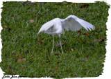 20130224 St Lucia 131 Little Blue Heron (juv).jpg