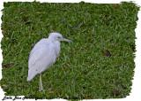20130224 St Lucia 154 Little blue Heron (juv).jpg