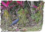 20130224 St Lucia 209 Little Blue Heron.jpg