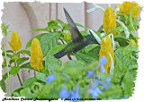 20130224 St Lucia 093 Antillean Crested Hummingbird.jpg