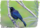 20130220 St Lucia 566 SERIES - Carib Grackle (m).jpg