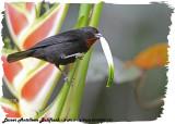 20130220 St Lucia 731 SERIES - Lesser Antillean Bullfinch (m).jpg