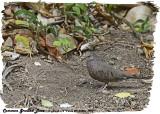 20130220 St Lucia 1042 Common Ground Dove.jpg