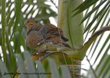 20130220 St Lucia 923 Zenaida Dove.jpg