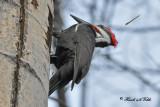 20100318 574 SERIES -  Pileated Woodpecker.jpg